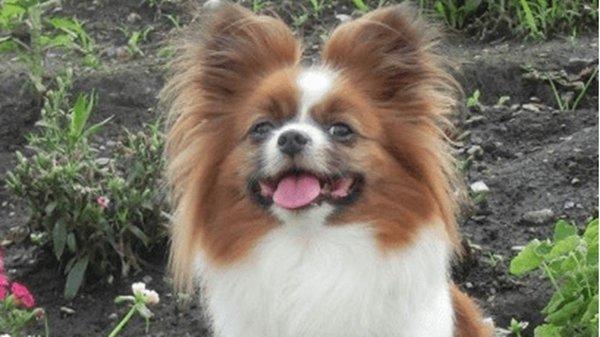 【埼玉】愛犬のパピヨンを蹴り殺された飼い主が語る…「リードを付けろと言われ、わかりましたと言ったのに...許せない」★13  [ばーど★]
