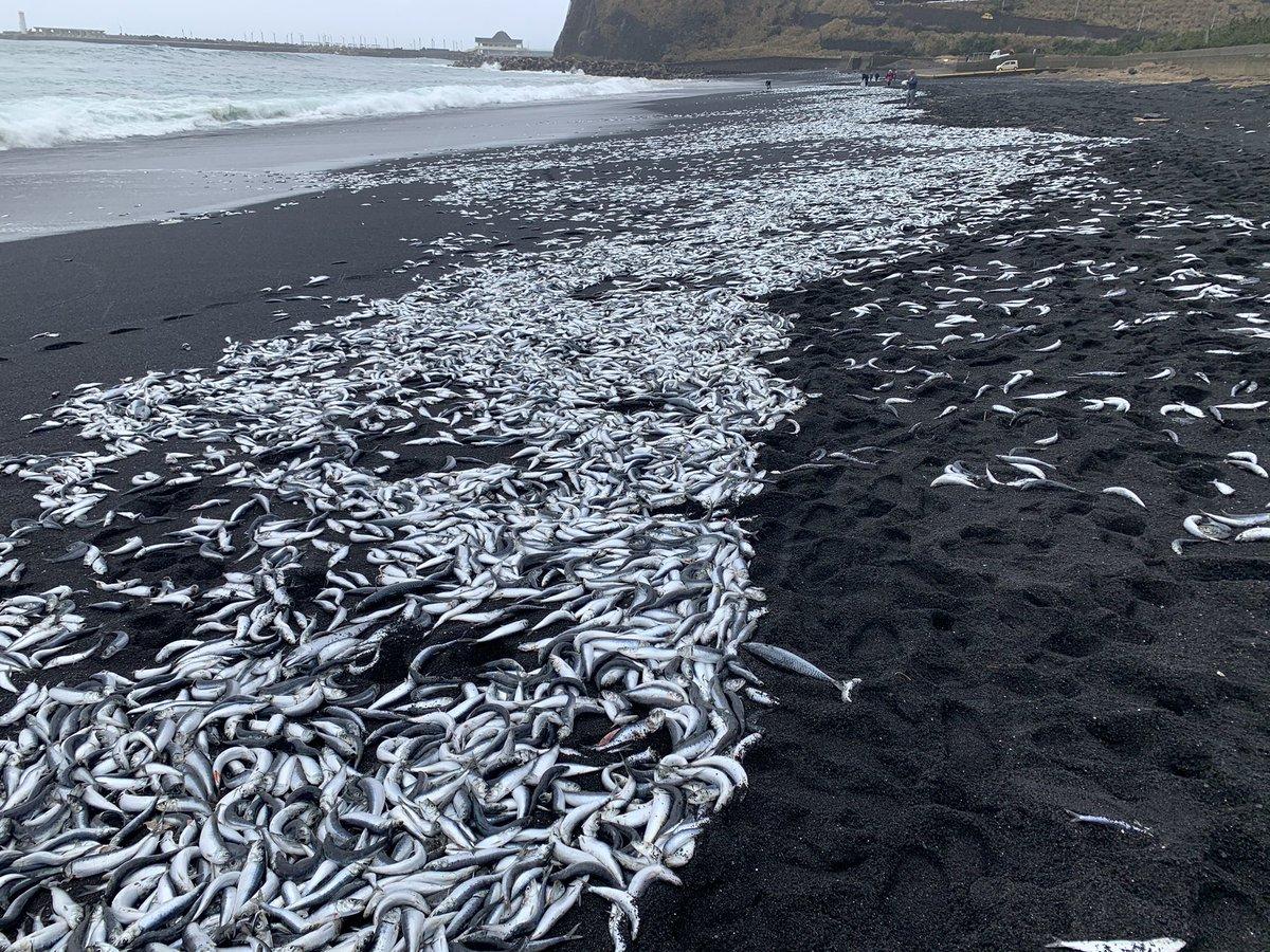 三宅島で大量の魚が打ち上げられているのが見つかる